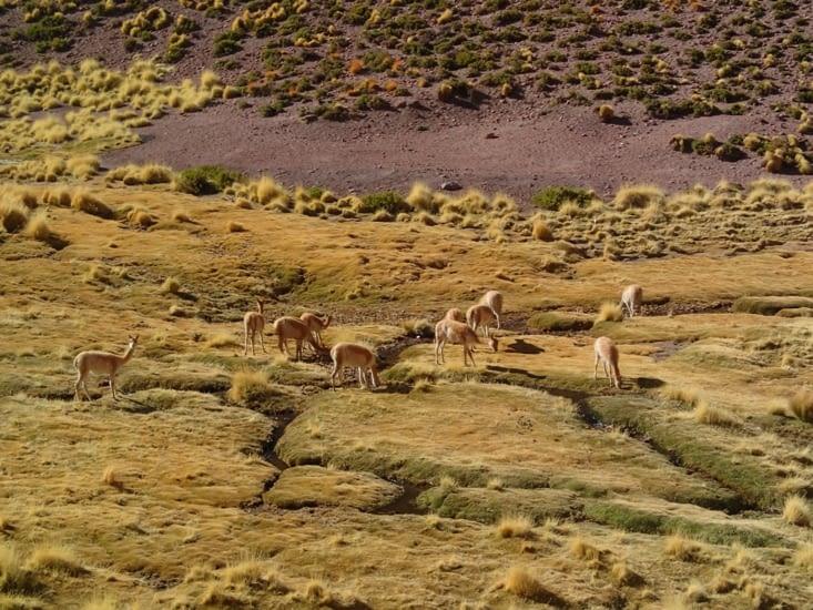 Un groupe de vicunas. Cousins des lamas et des alpagas.