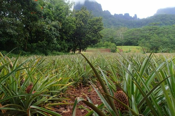 Arrêt dans un champ d'ananas. Surprise de voir que ça pousse directement au sol !