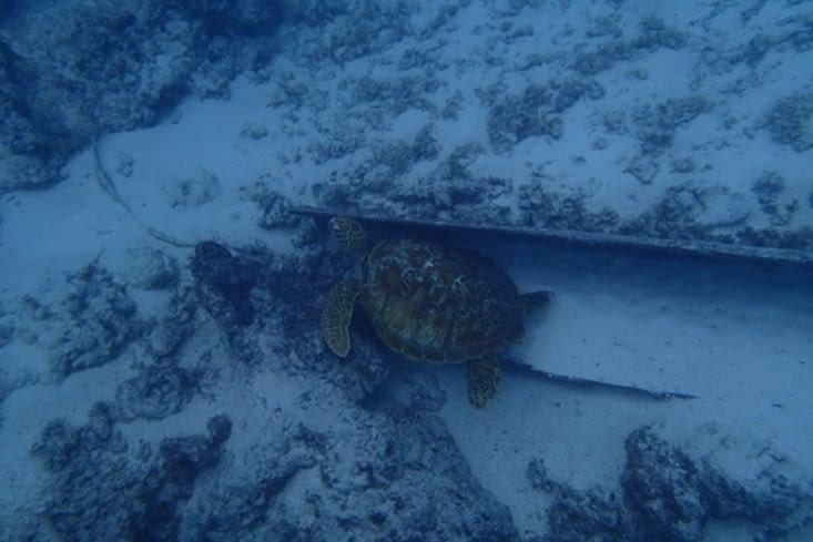 Sur le retour, on a croisé une énorme tortue verte. Trop mimi !