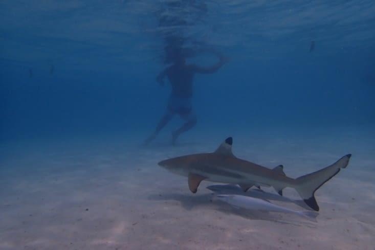 Petite halte pour nager avec les requins à pointes noires.