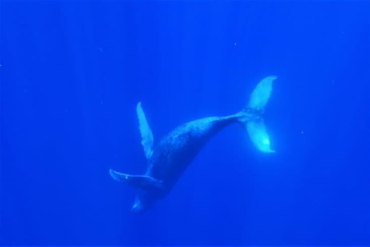 Notre vœu est exaucé... Après 3h de recherche, on tombe sur une immense baleine à bosse ?