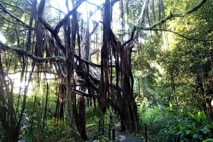 Un arbre centenaire digne du livre de la jungle.
