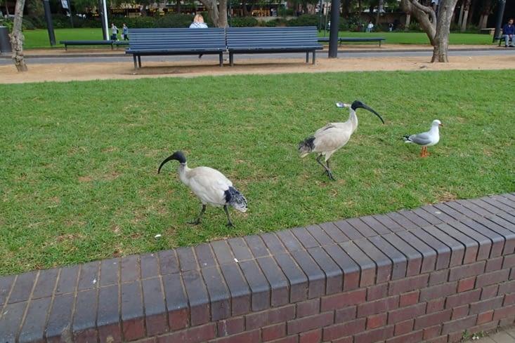 Deux Ibis dans un parc. Original de voir se balader ces oiseaux bizarres en pleine ville !