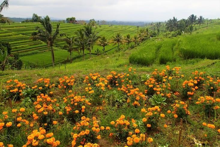 Parmi nos rizières préférées : celles de Jatiluwih (région de Munduk).