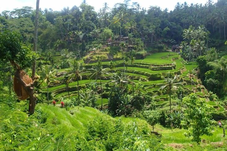 Egalement parmi les favorites: les rizières en terrasse à flan de falaise (région d'Ubud).