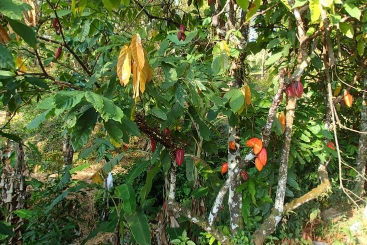 Là nous avons des cabosses de cacaotier. Quand elles sont jaune on peut les ramasser.