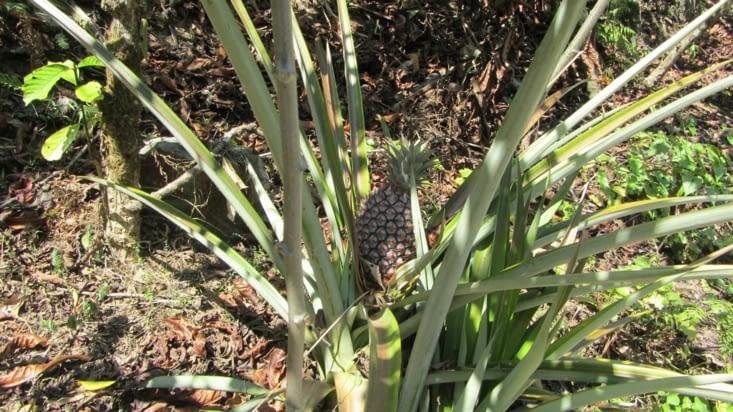 Par contre les ananas se font rares mais on en trouve quand même au milieu des cafétiers.