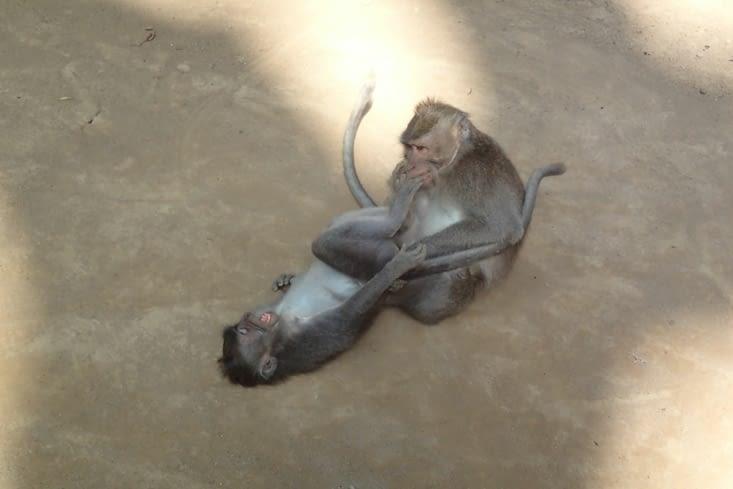 Comme nous, les singes aiment chahuter entre eux. C'est trop mignon !