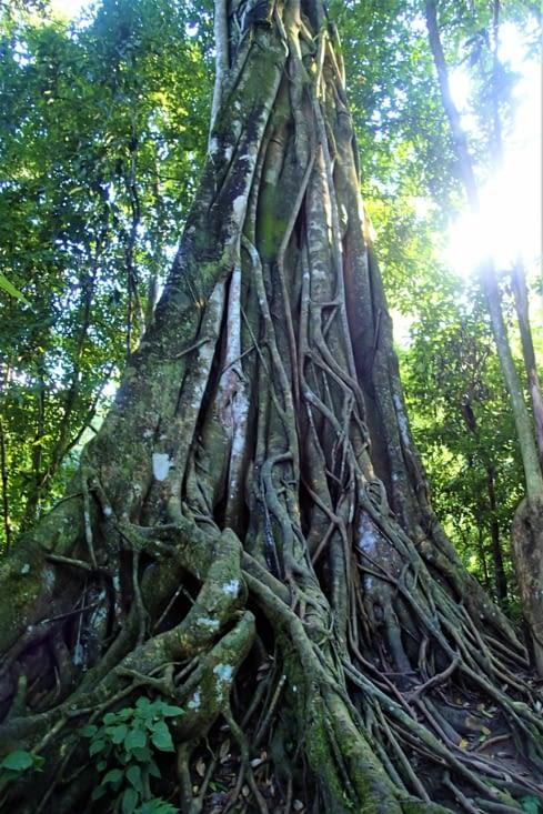 On croise de magnifiques arbres centenaires sur le chemin.
