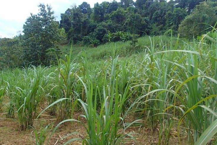 Sur le retour, le guide nous montre leur grand jardin et leur champ de canne à sucre.