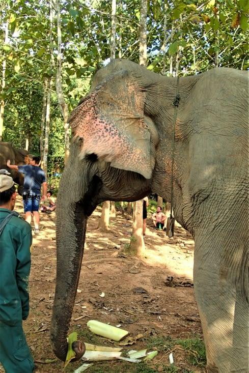 Les oreilles des éléphants leurs servent de régulateur de température corporelle.