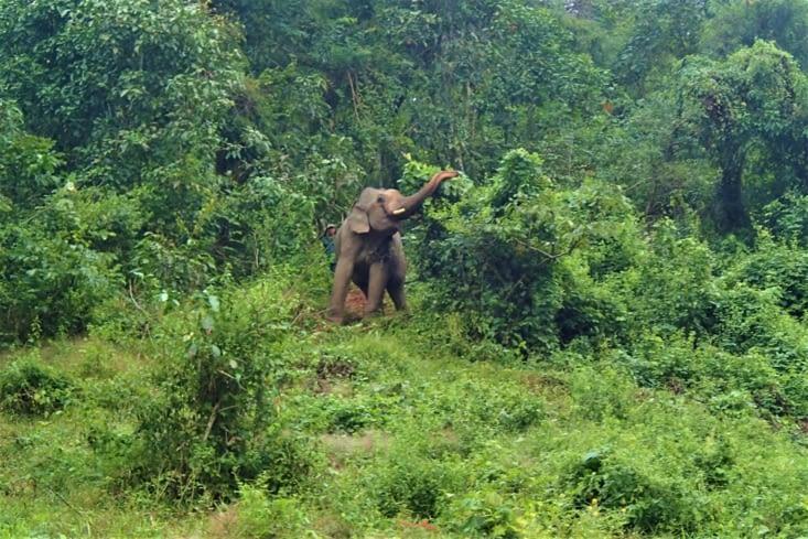 Sur le chemin, on croise un mâle qu'on peut distinguer grâce à ses défenses.
