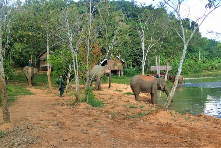 On assiste au bain d'un groupe d'éléphantes. Que des dames plus ou moins vieilles ?