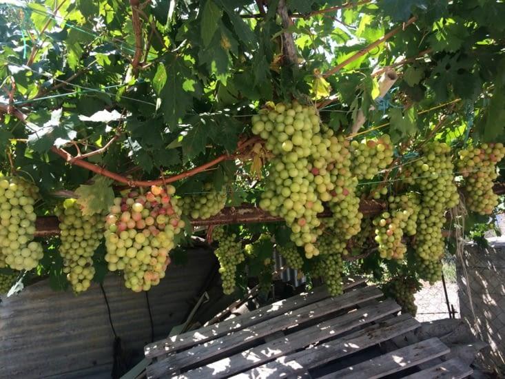 Le raisin croule dans le village de Siana