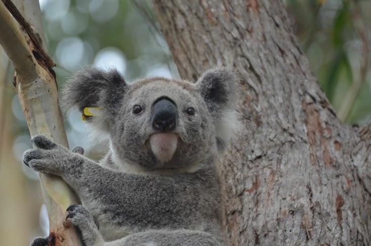 Koala avec bague à l'oreille