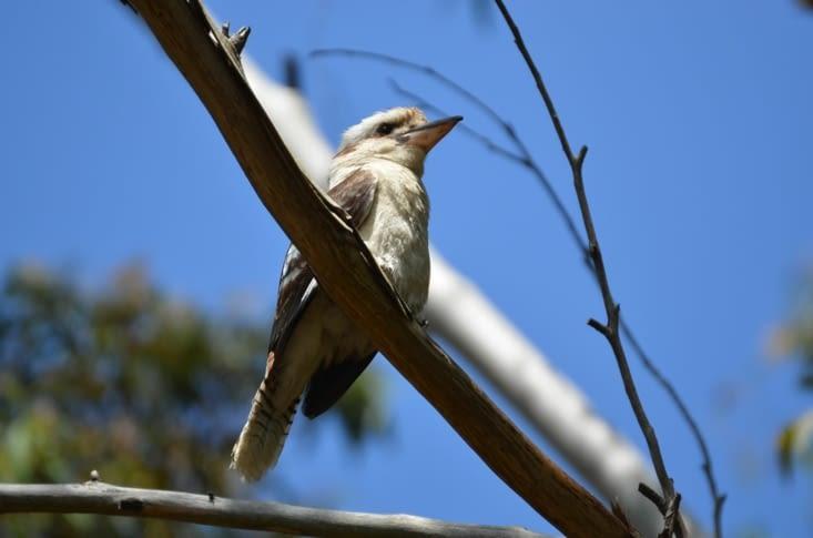 Un Kookaburra vu pendant la rando