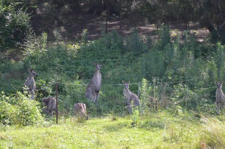 Kangourous aux aguets !