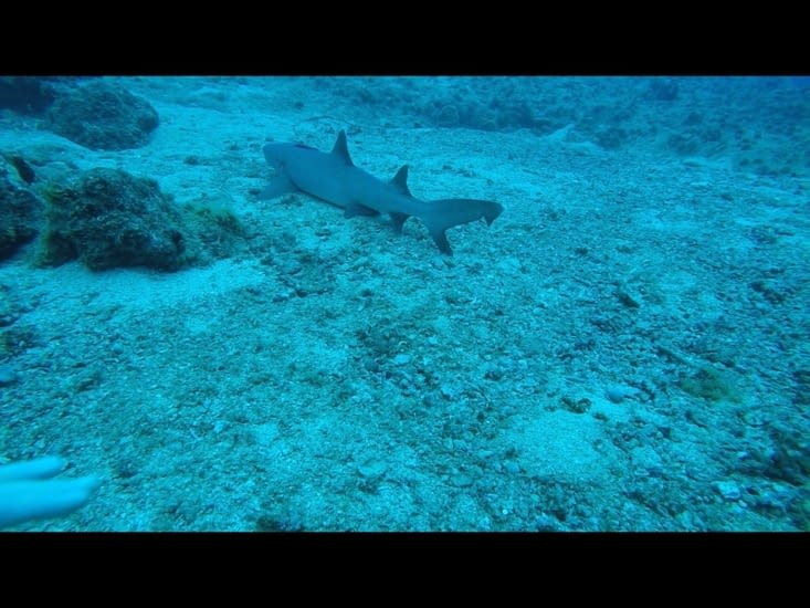 Le premier requin pointe blanche !