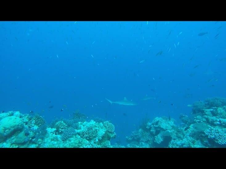 Les requins gris 🦈🦈🦈