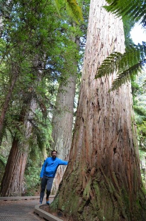 Au milieu des séquoias à redwood Forest