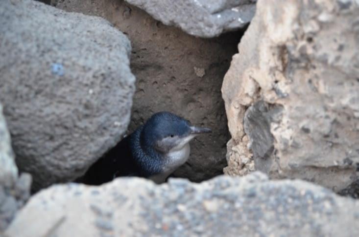 Les petits pingouins bleus