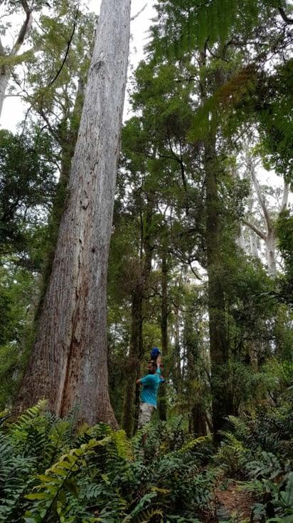 Immenses eucalyptus