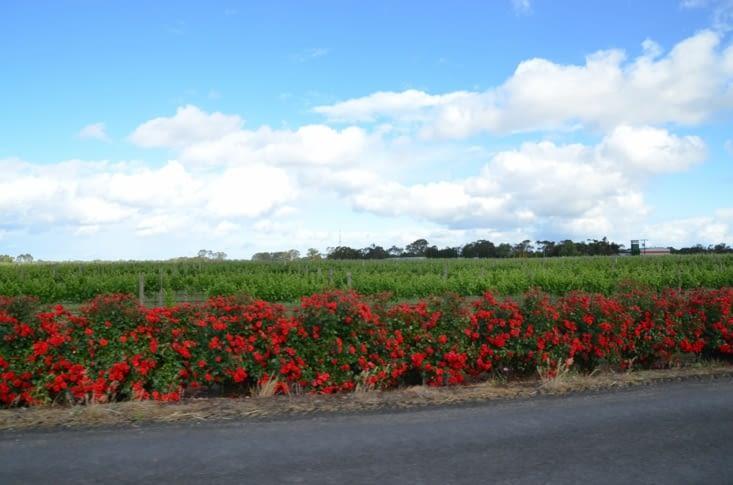 Vignobles bordés de rosiers