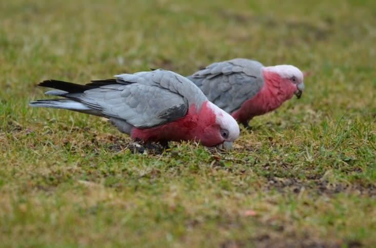 Chez nous il y a des pigeons, ici ce sont des perroquets !
