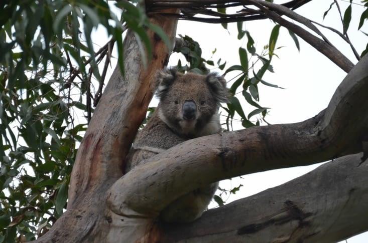 Notre premier koala 🐨 So cute !