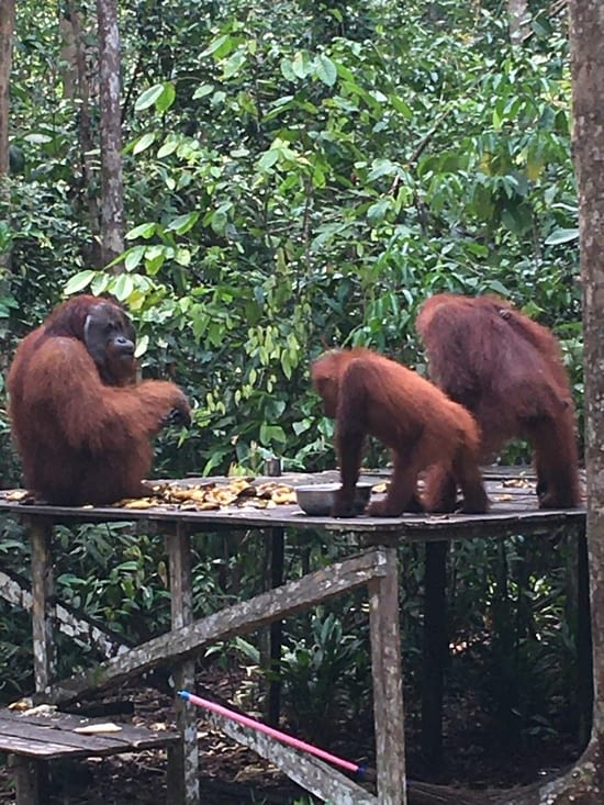 Les Orangs Outans de Borneo