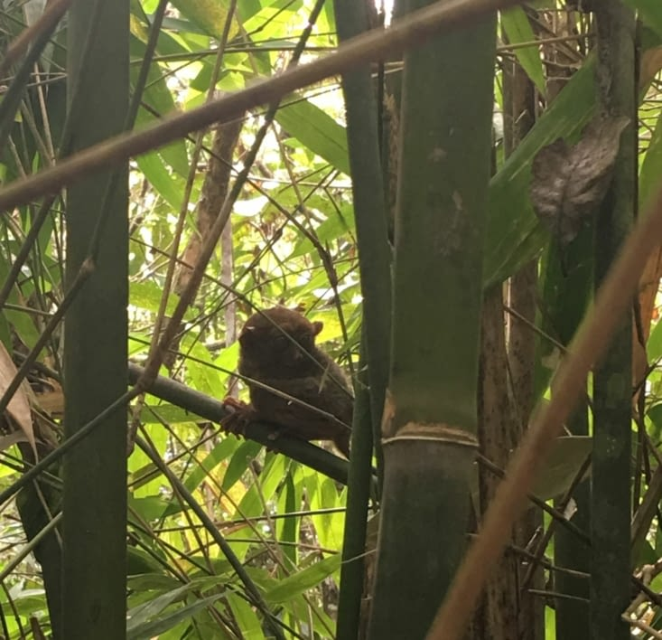 The Tarsiers (the smallest monkey in the world) in Philippines