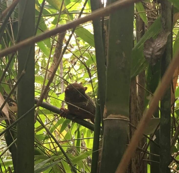 Les Tarsiers (les plus petits singes au monde) aux Philippines