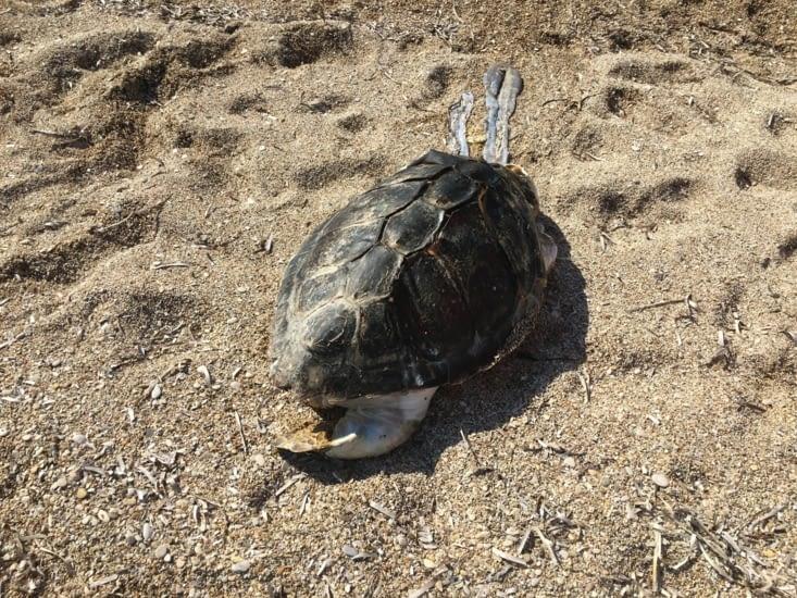 Grece : Une tortue morte échouée sur la plage...dur dur