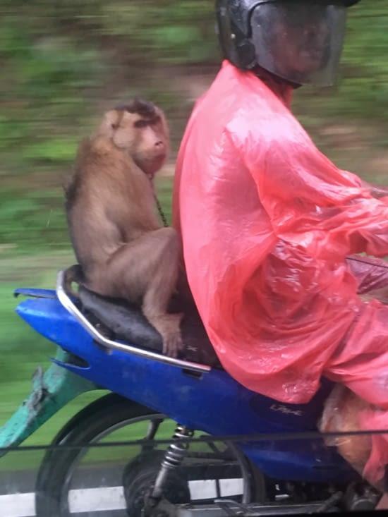 Quand c'est pas 5 sur le scooter c'est avec des singes ! En Indonésie!