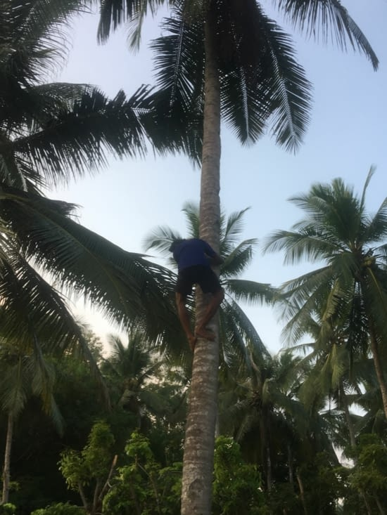 La ceuilette des noix de coco ... façon Indonesie !