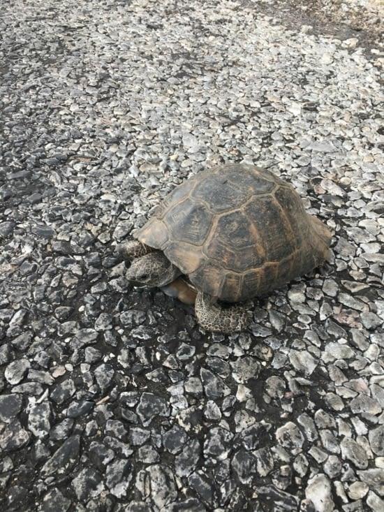 Une tortue en plein milieu de la route !