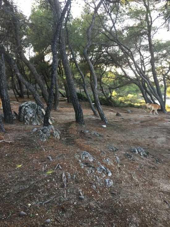 La forêt avec des pins (comme dans les Landes !!!)