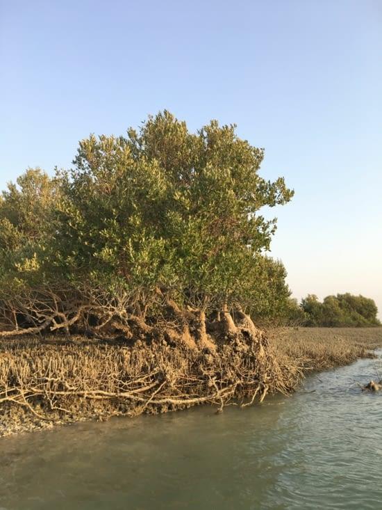 La mangrove de l'île de Qeshm... des cigognes, des pelicans etc.