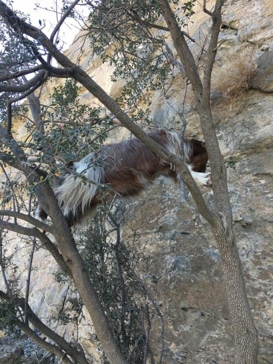 L'animal peut être futé pour trouver à manger dans se décor aride !