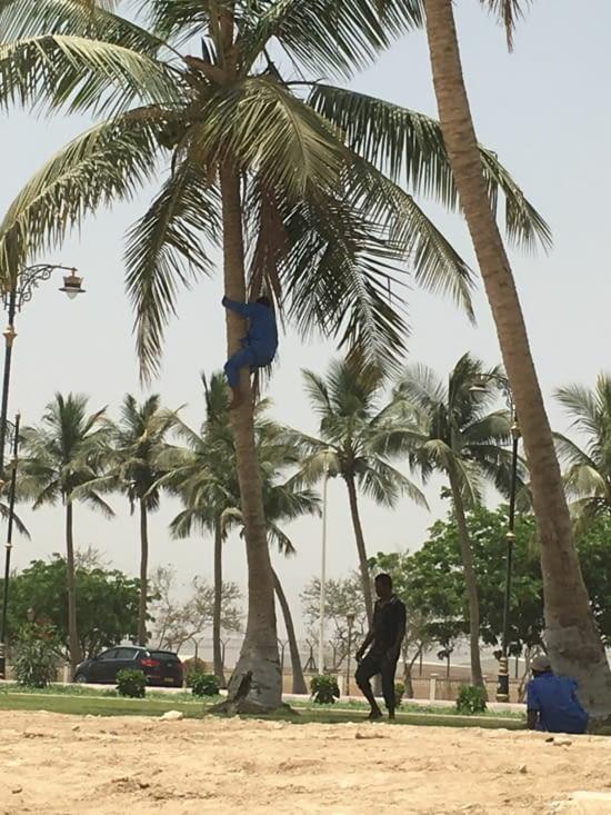 Ramasseur de noix de coco dans Salalah !