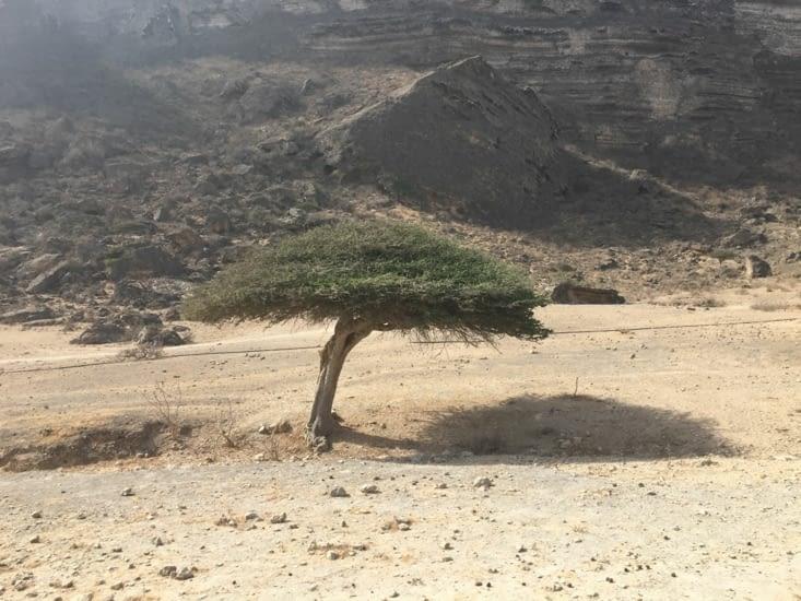 L'arbre dont est extrait l'encens Omanais ... interdit d'y toucher !