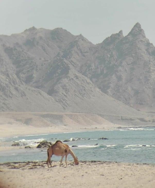 Bronzage intégral pour les chameaux !!!