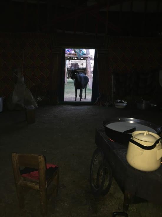 Les chèvres s'invitent même dans la Yourte !