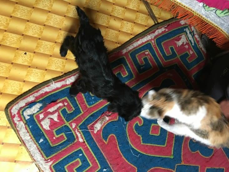 Chevreau et chat cohabitent dans la Yourte !