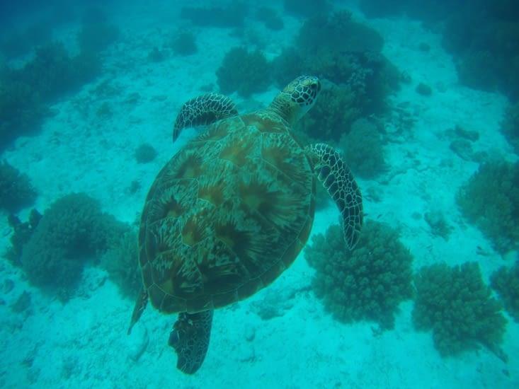Et tortue de 50 cm de long environ ...