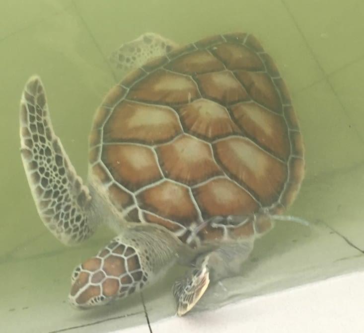 Le sanctuaire des tortues a Cherating