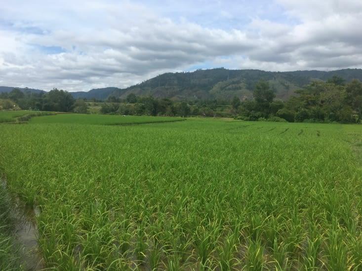 Les rizières dans des décors de montagnes