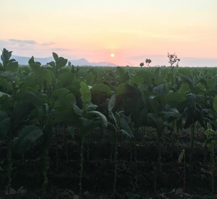 Les champs de tabac de Java Est : des hectares et des hectares !