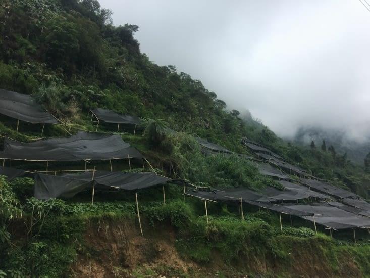 Culture du Wasabi pour exporter au Japon