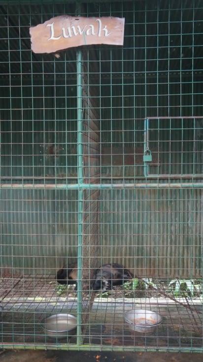 Les mangoustes dans leur cage